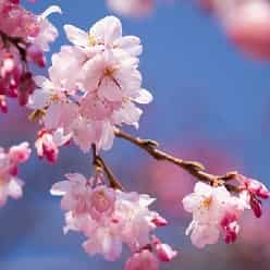 جشن هانامی مجازی، لذتی جدید از شکوفه های گیلاس ژاپنی